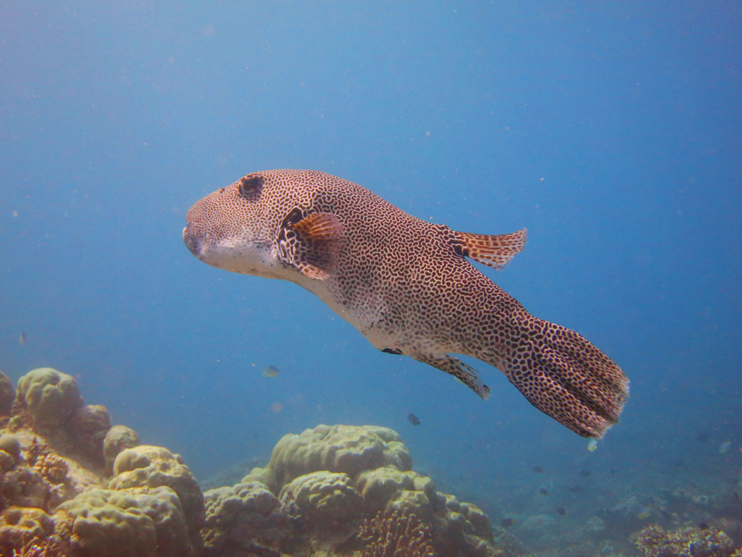 Puffer fish facts maldives puffer fish coco collection for Interesting facts about fish