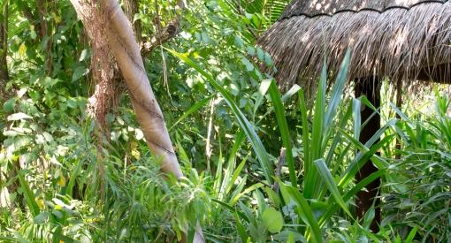 Coco palm dhuni kolhu cornus8938
